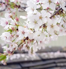 4月4日 ~ 4月10日<br> 充滿花香的首爾花季!<br><br>
